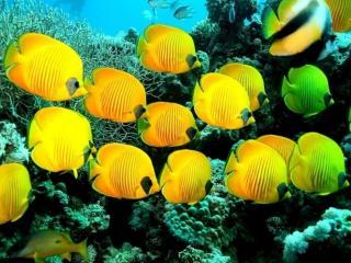 обои для рабочего стола: Жёлтые рыбки Красного моря