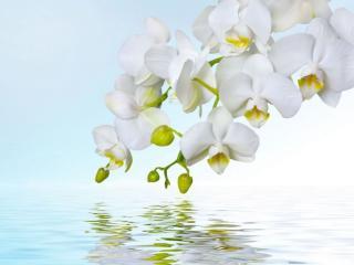 обои Нежность белой орхидеи фото