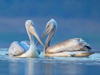 обои Пеликановая пара фото
