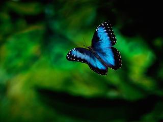 обои Синия бабочка в полете фото