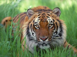 обои Тигр в траве крупно фото