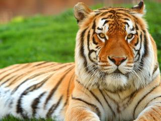обои Тигр лежа на траве фото