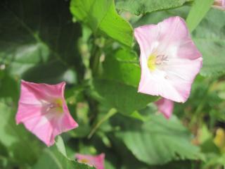 обои Вьюнок цветет фото