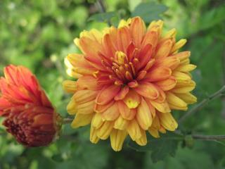 обои Хризантема меланжевая фото