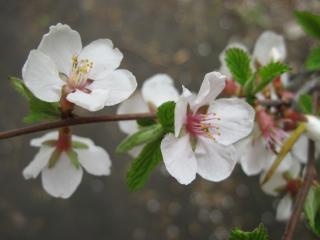 обои Куст цветет фото