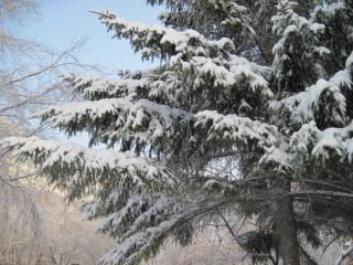 обои Снег на елке фото