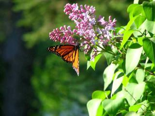 обои Бабочка и сирень фото