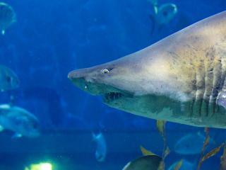 обои Остроносая акула фото