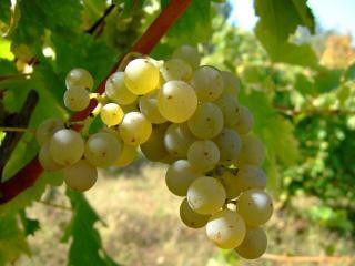 обои для рабочего стола: Белый виноград