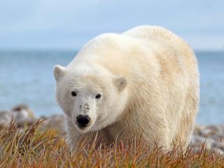 обои Белый медведь на фоне моря фото