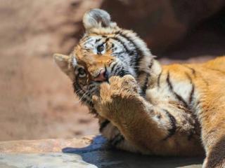 обои Большая кошка  - это тигр фото