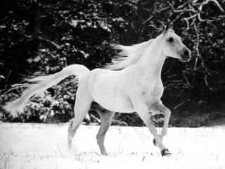обои Прогулка белого коня фото