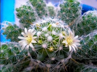 обои для рабочего стола: Белый цвет кактуса