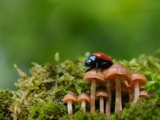 обои Красный жук на грибах фото