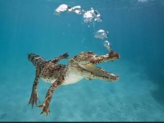 обои Плывущий крокодил фото