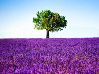 обои для рабочего стола: Дерево на лавандовом поле