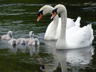 обои Лебединая семья фото