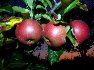 обои Яблочный закат фото