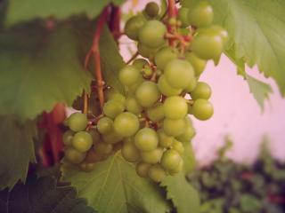 обои для рабочего стола: Зреет Крымский виноград
