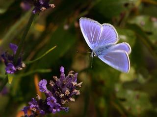 обои Нежносиреневая бабочка фото