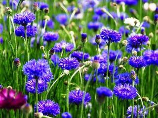 обои Цветут в поле васильки фото