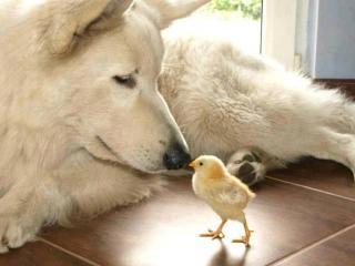 обои Пёс и цыплёнок фото