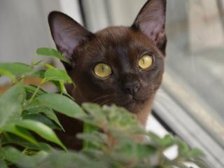 обои Шоколадный кот фото