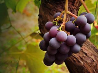 обои для рабочего стола: Зреет тёмный виноград