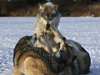 обои Забавы серых волков фото