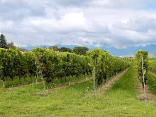 обои Крымский виноградник фото