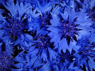 обои для рабочего стола: Ярко-синие васильки