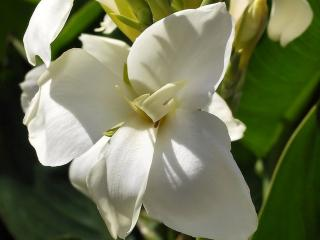 обои Белый цветок Канна фото