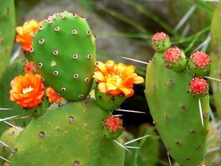 обои для рабочего стола: Цветы и бутоны кактуса