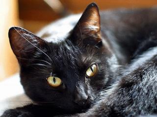 обои для рабочего стола: Чёрный кот ушастый