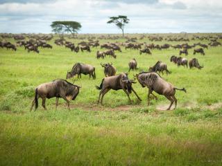 обои Антилопы гну. Национальный парк Серенгети,   Танзания фото