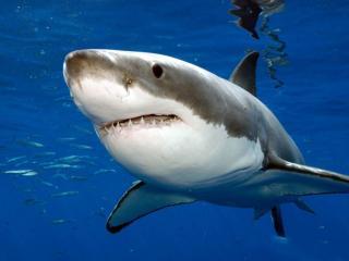 обои для рабочего стола: Белая зубастая акула