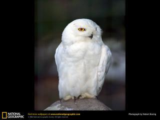 обои Snowy owl фото