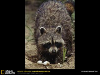 обои Raccoon фото