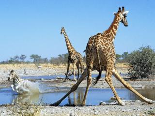 обои Жирафы и зебра фото