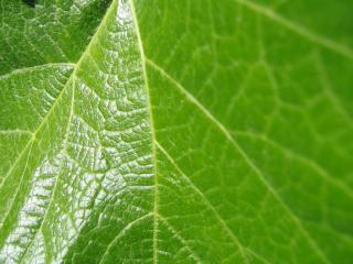 обои Блестящий зеленый лист фото