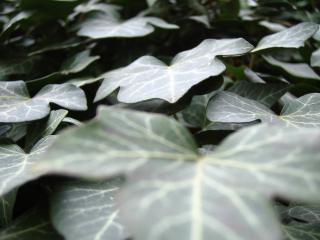 обои Темная листва фото
