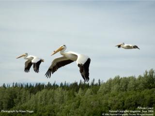 обои Пеликаны фото