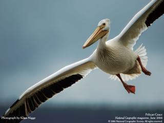обои Pelican фото