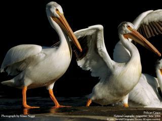 обои Американские белые пеликаны фото