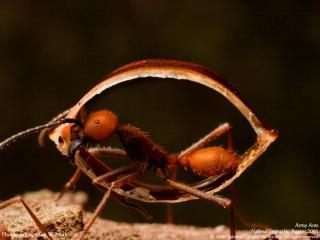 обои Армия муравьев фото