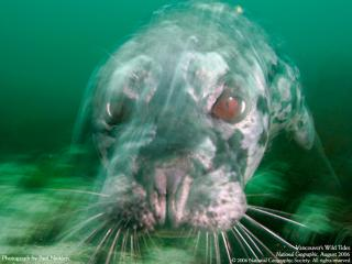 обои Тюлень фото