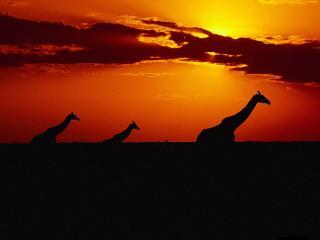 обои Жирафы на закате фото