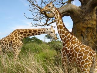 обои Жирафы у дерева фото