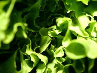 обои Листья салата фото