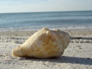 обои Морская раковина на пляже фото